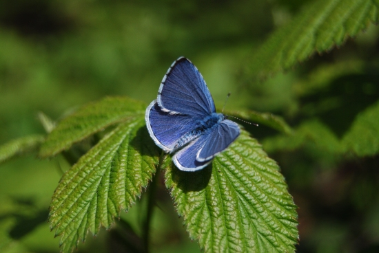 Holly blue