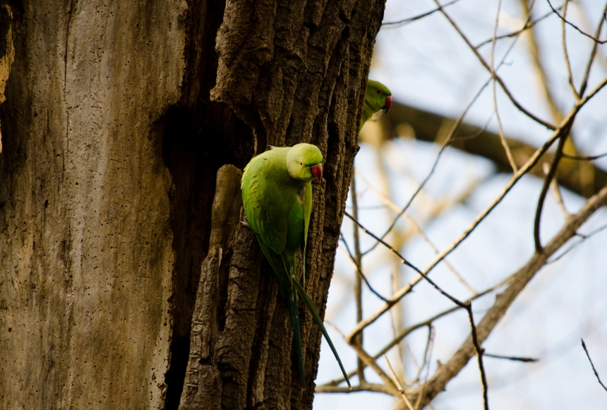 Ring necked parakeet