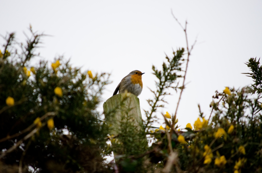 Robin and gorse flowers, Exmoor