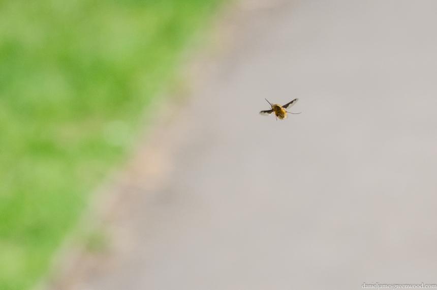Beefly, Bombylius major 1 crop