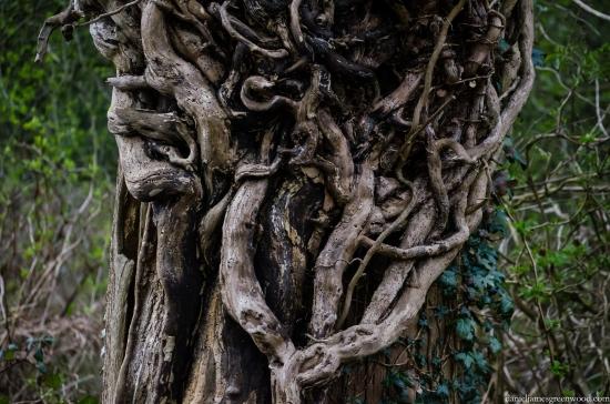 Dead ivy & oak