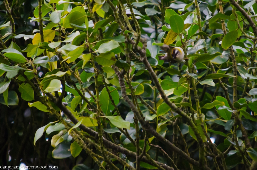 Firecrest 5 crop (1 of 1)