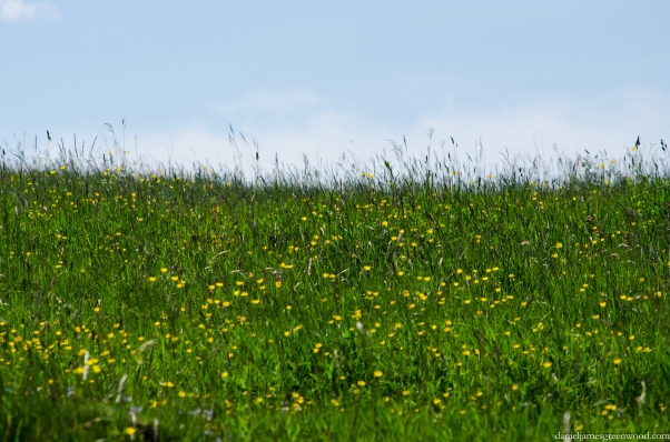 Meadow buttercups