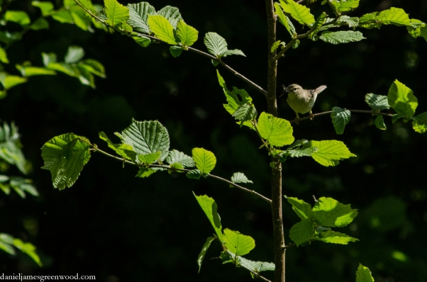 Willow warbler crop 1