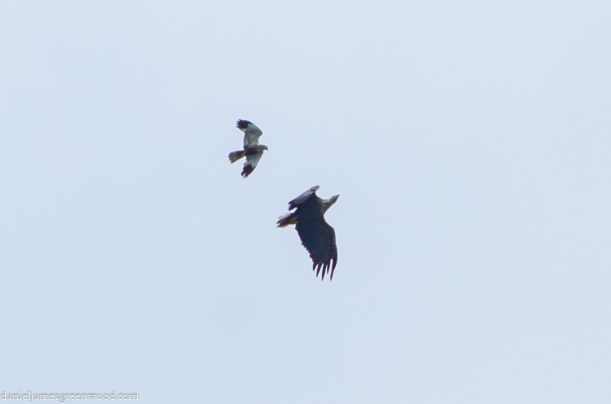 Marsh harrier attacking white-tailed eagle