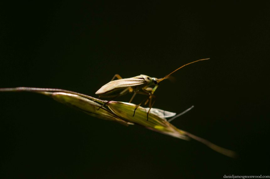 Capsid bug