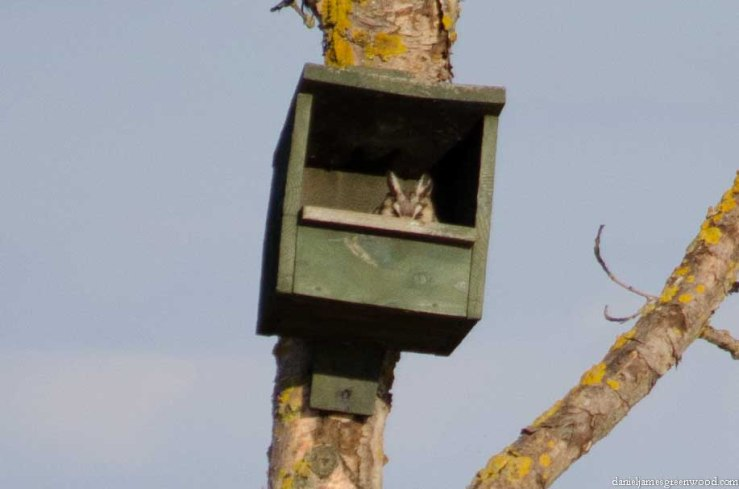 Hortobagy owl-1
