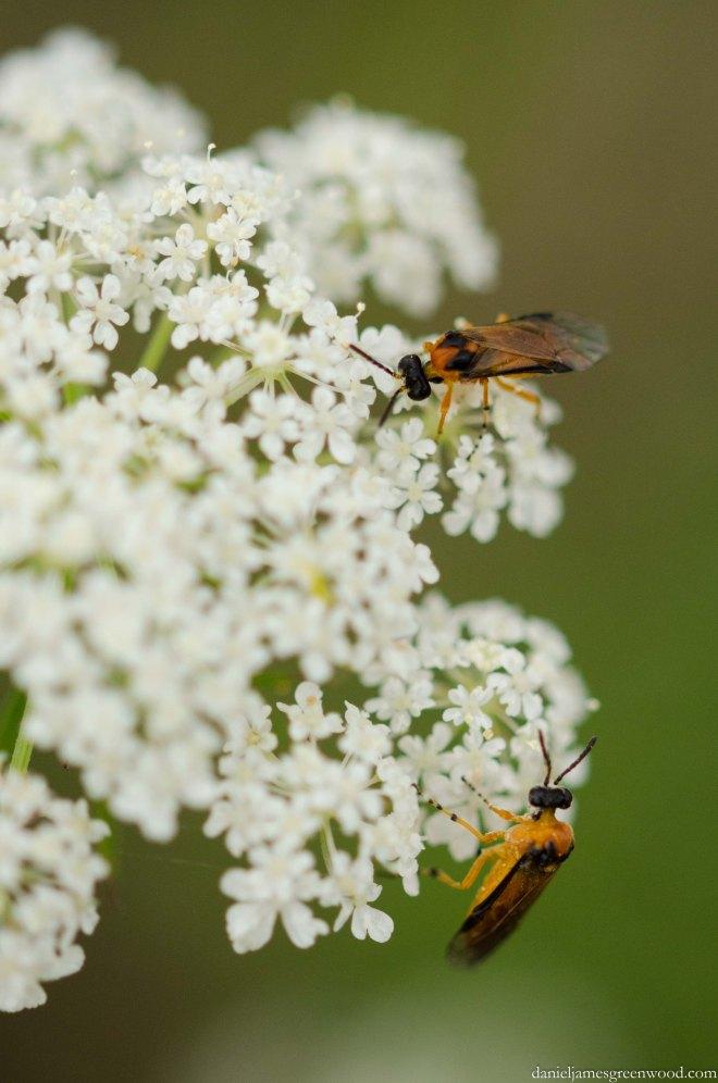 Turnip sawfly