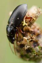 Strawberry seed beetle