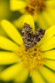 Common nettle tap micro-moth