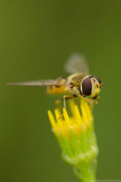 Syrphus hoverfly