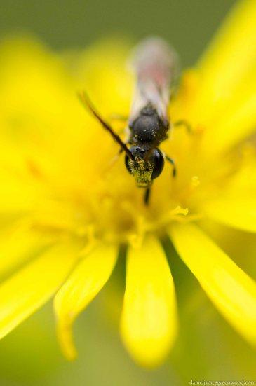 Slender mining bee