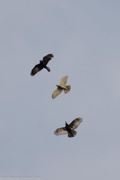 Rook and crow attacking a sparrowhawk