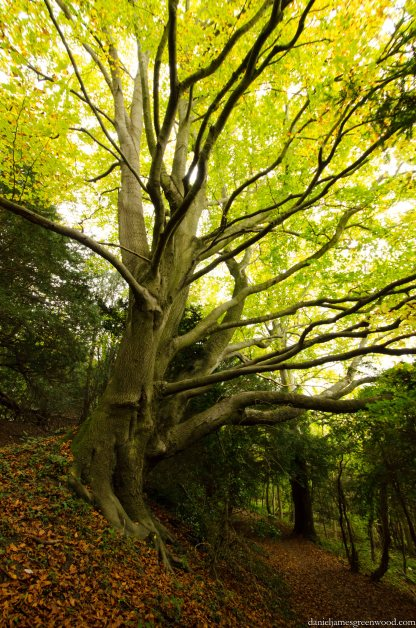 North Downs beech blog pic-1