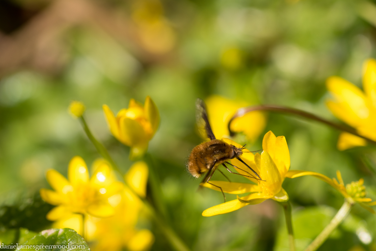 Bee-fly feeding on lesser celandine