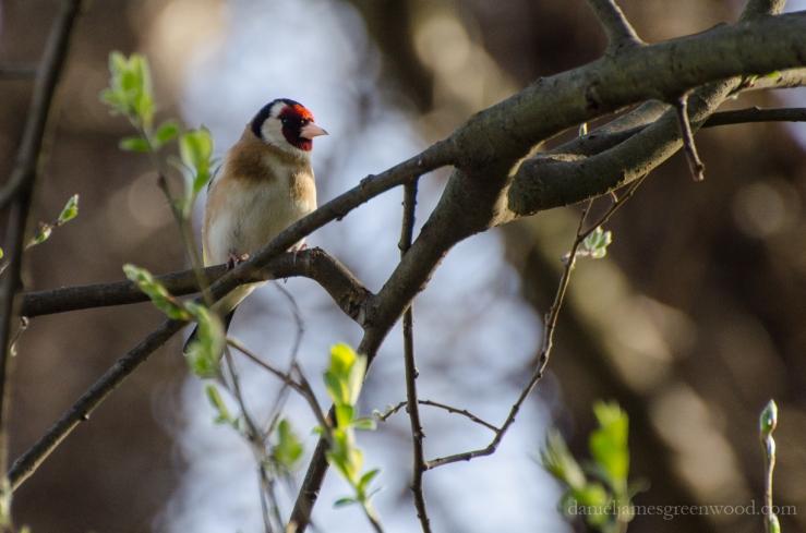 Goldfinch HNT April 2016-1