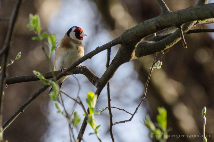 Goldfinch HNT April 2016-1