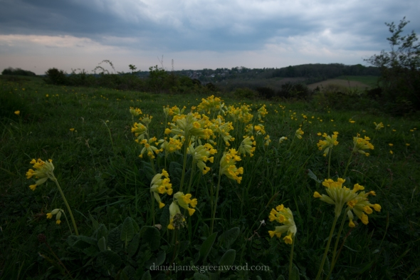 Cowslips, Farthing Downs