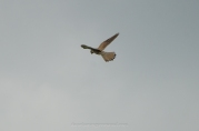 Kestrel, Farthing Downs