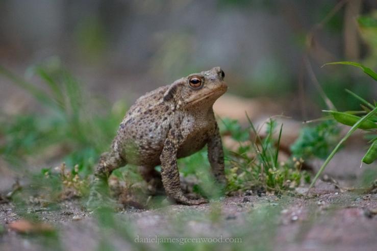 Peckham toad-1