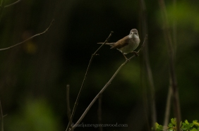 Whitethroat, Farthing Downs
