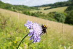 Bee and scabious valley
