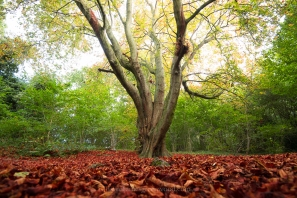 Autumn horse chestnut