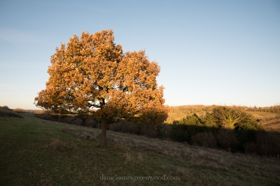 Sunset oak - North Downs diary - November 2016 - D. Greenwood