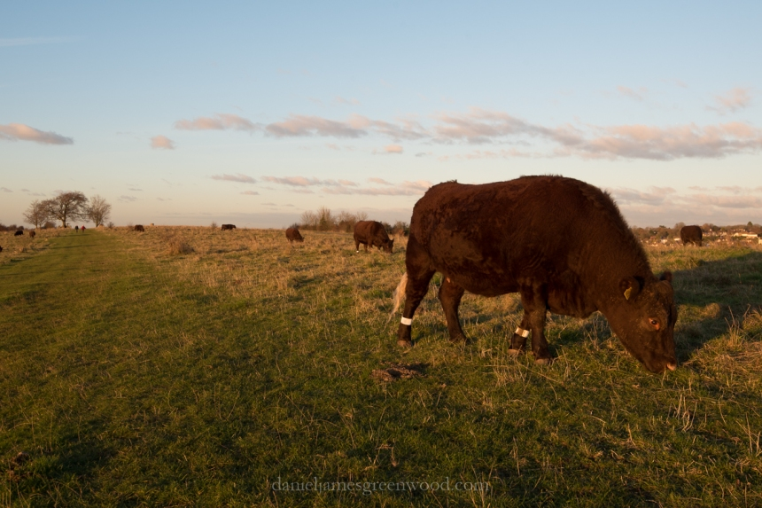 Cows grazing - North Downs diary - November 2016 - D. Greenwood