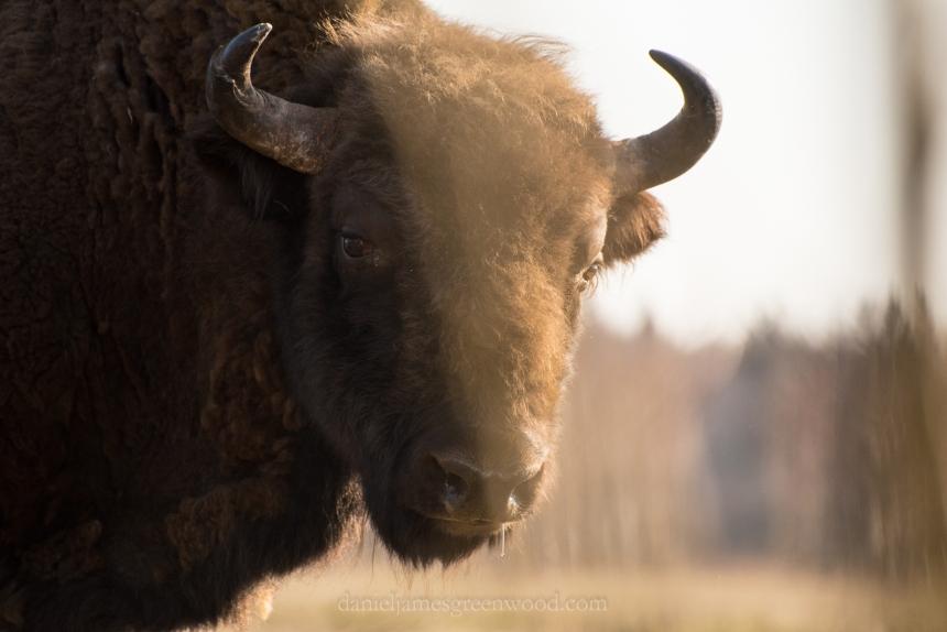 bialowieza-bison-djg-1