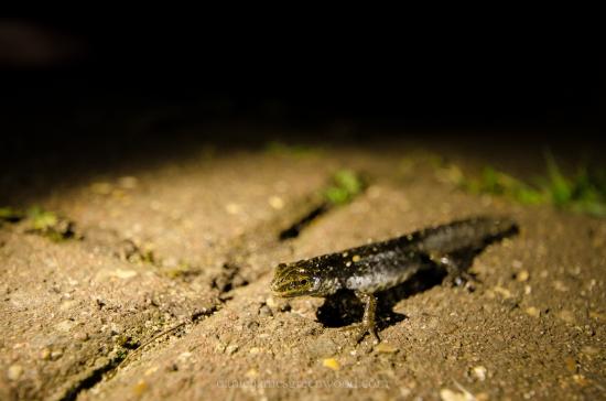 marsden-road-newt-djg-1