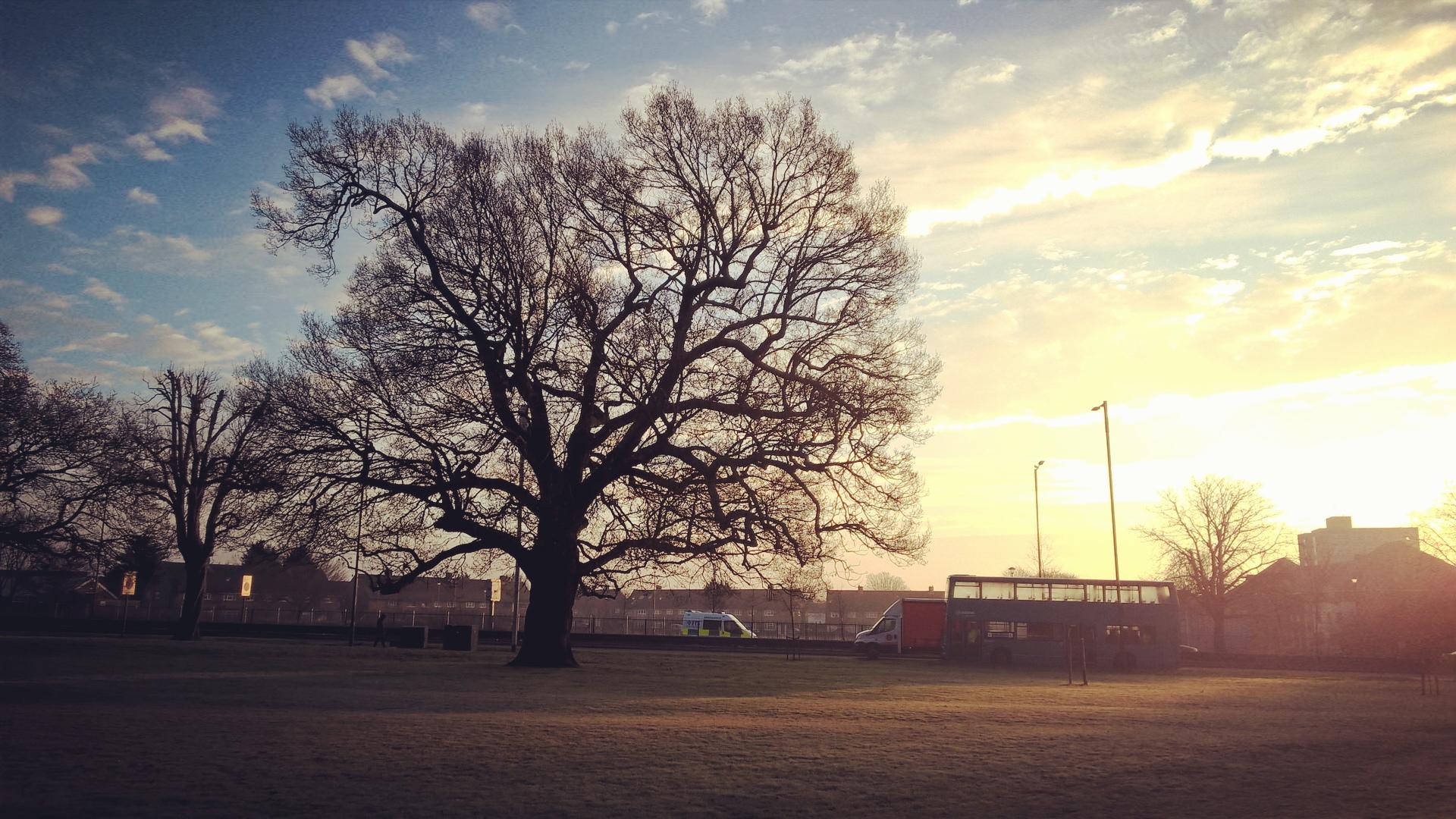Enfield oak