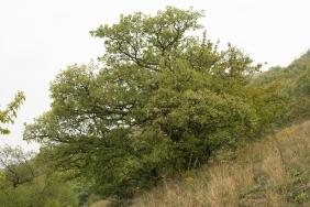 Oak on hill meadow