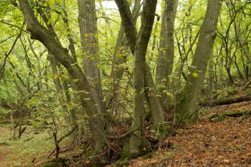 Small-leaved lime coppice stool