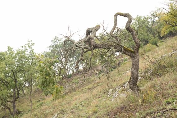 Scraggy veteran oak
