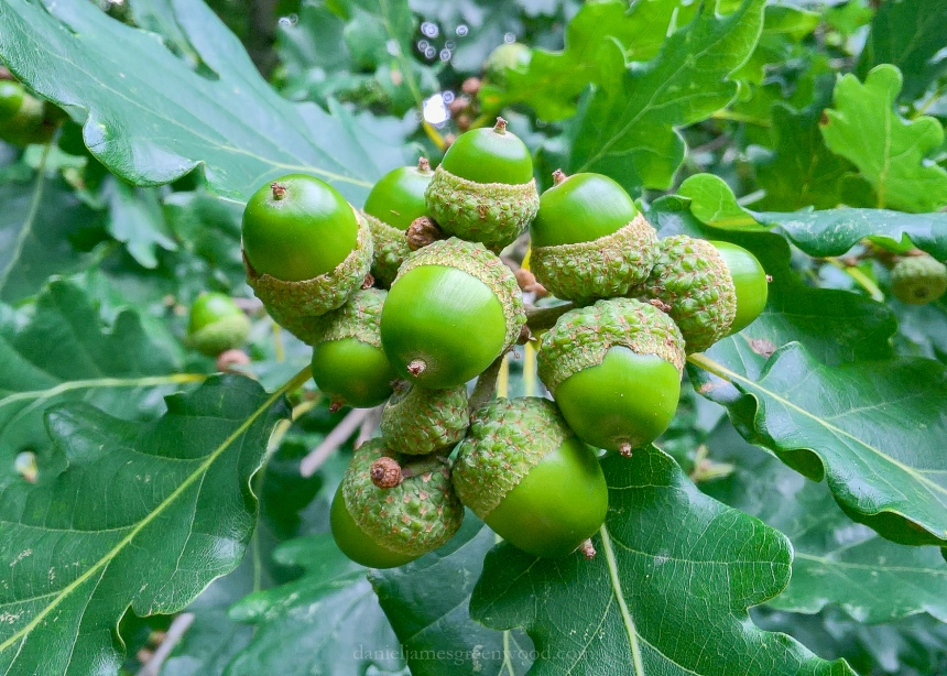 10 acorns on one bunch