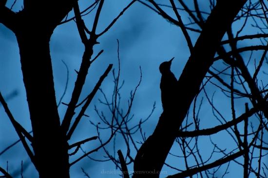Woodpecker silhouette djg-1