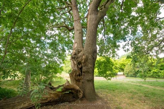Dulwich oaks 2016-4