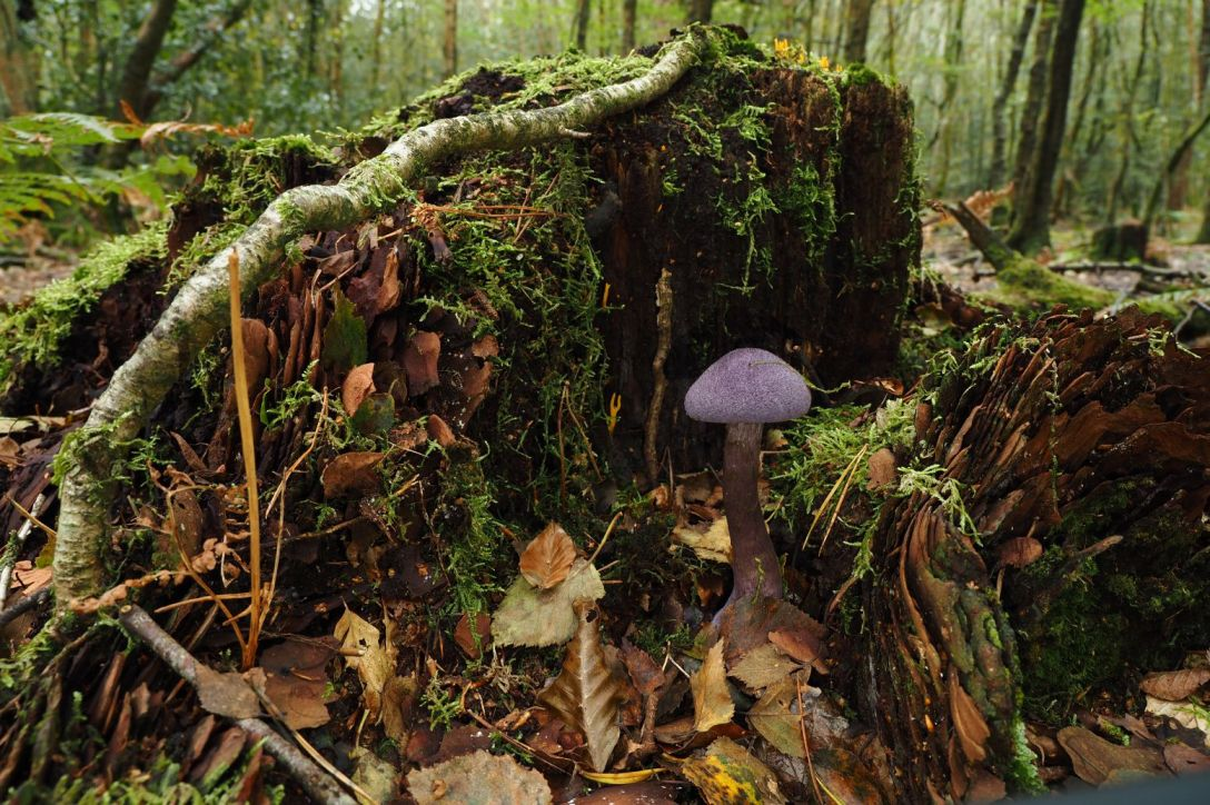 A purple mushroom at the base of a tree stump in woodland